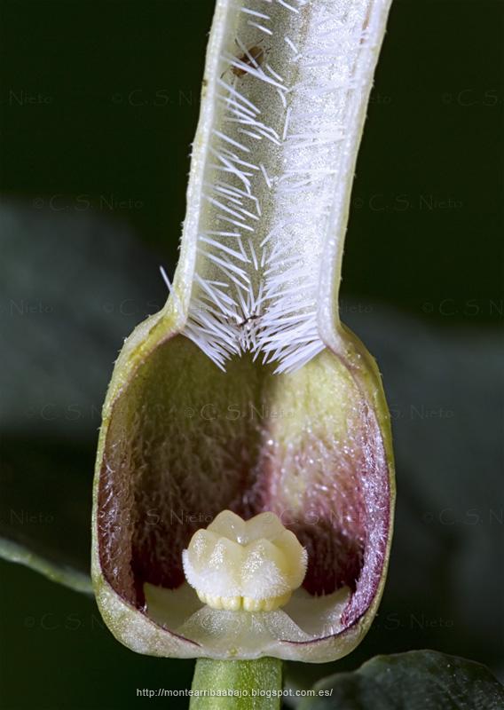 Corte longitudinal de una flor de Aristolochia en primera etapa de desarrollo