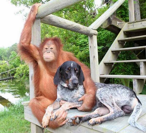 Funny animals of the week - 5 April 2014 (40 pics), orangutan befriends dog