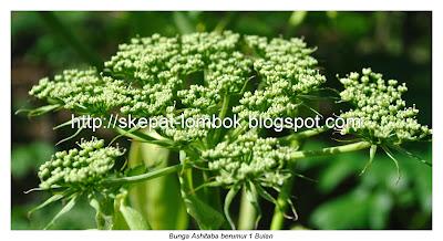 bunga ashitaba dan bibit ashitaba. rinjani ashitaba sembalun Lombok, ashitaba plantation, ashitaba flower