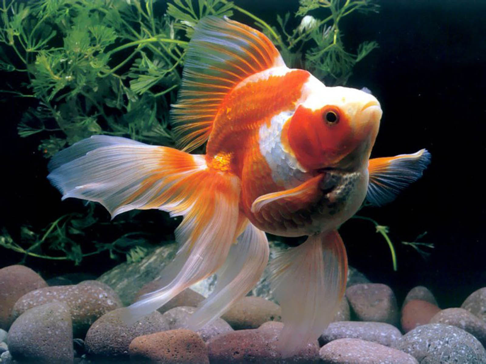 Gold fish pictures hd wallpapers for Wallpaper fish in water