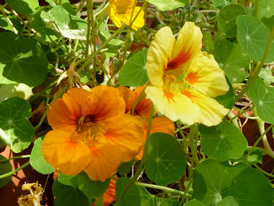 Nasturtium Photo by Nina's Show & Tell