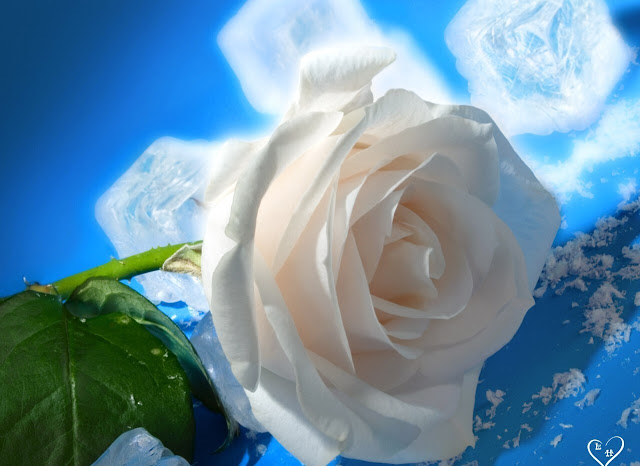 White Roses Pictures