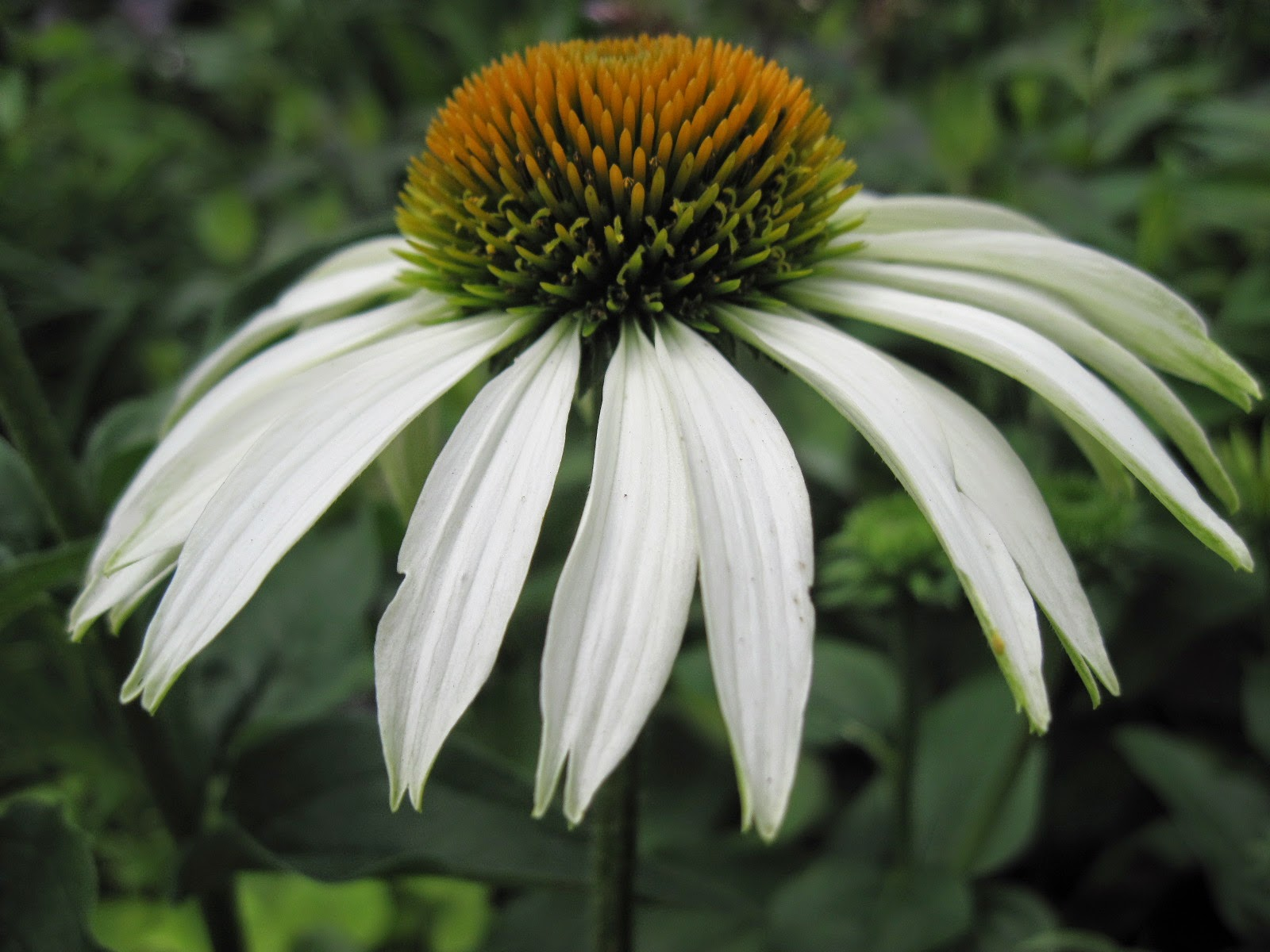 Floral Boom White Swan Coneflower