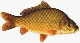Jika belum maka sudah benar bagi anda untuk membaca artikel ini Nah ! Membuat Umpan Mancing Ikan Mas Sederhana Kok