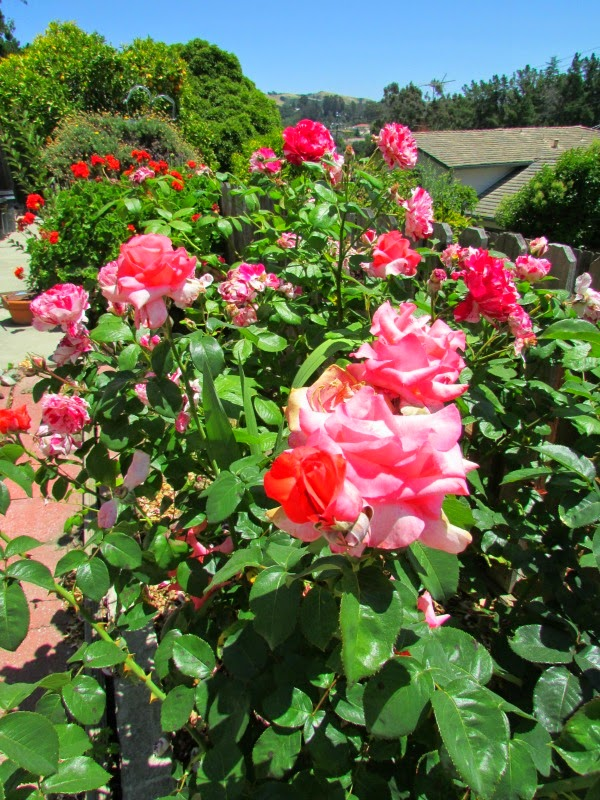 In the Garden // Pink Roses & Red Geraniums