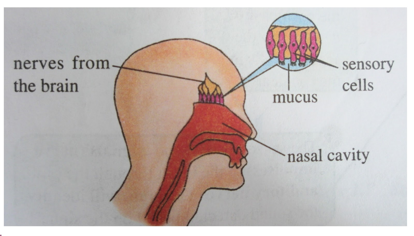 Diagram of nose during smell illustration of wiring diagram the world through our senses sense of smell rh ourhumansenses blogspot com diagram of how the nose works reaction of smell diagram ccuart Images