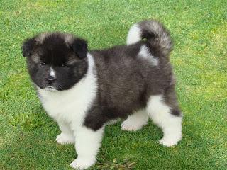 Akita Puppies Photos