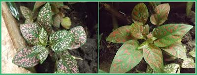 Planta de foração, ornamental, hypoestes ou confete.