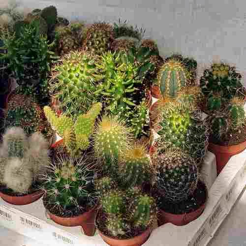 Kaktusyi
