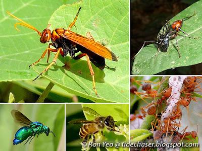 Bees, Wasps, Sawflies & Ants (Order Hymenoptera)