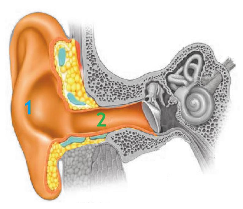 Anatomofisiología del Oído: Oído Externo ~ Audiología didáctica para ...