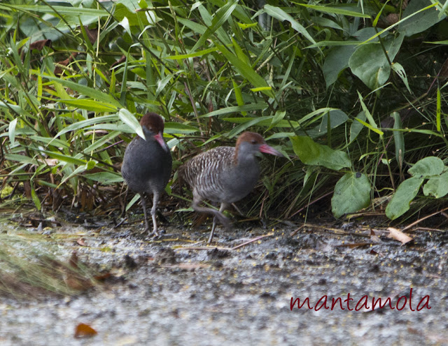 Slaty-Breasted Rail (Gallirallus striatus)