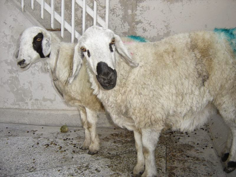 Bakra Mandi 2013,Eid ul Adha,Cow Qurbani,Camel Slaughter ...
