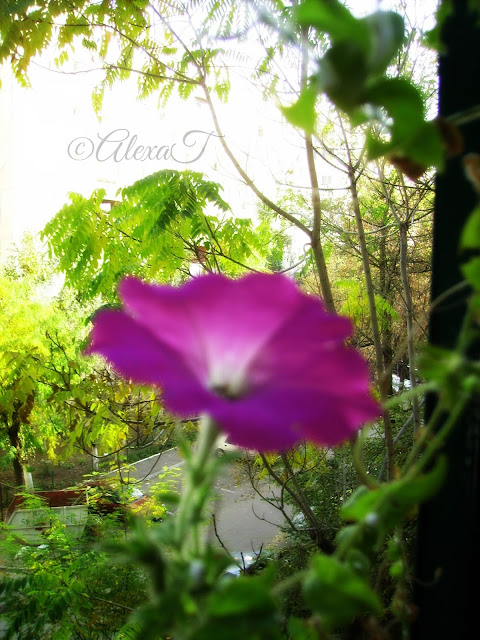 A single pink flower of ipomea or morning glory in autumn.