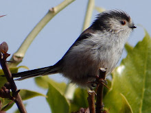 Long-tailed Tit in my garden