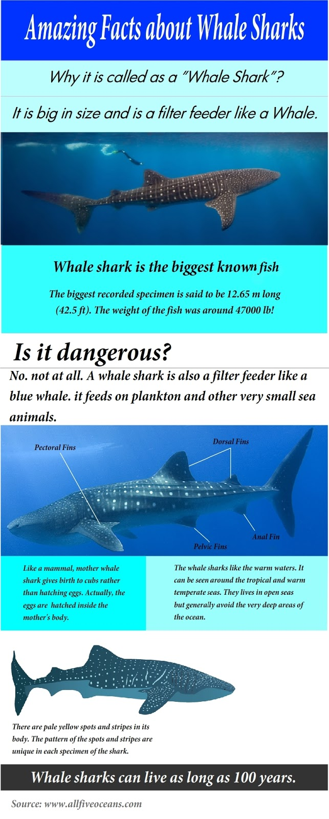 Infographic amazing facts about whale sharks all five for Interesting facts about fish