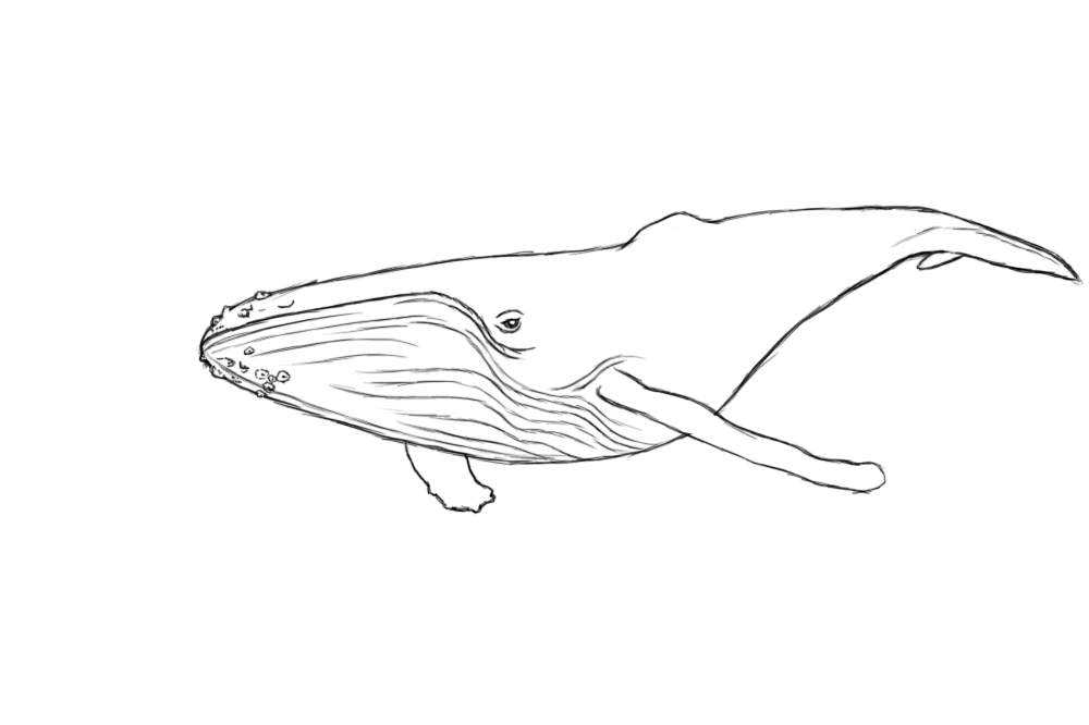 Line Drawing Whale : How to draw a whale central