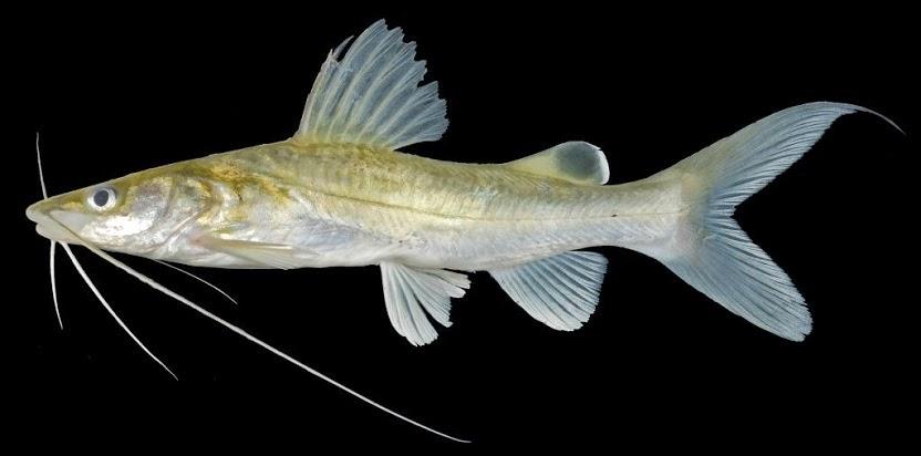 umpan ikan baung sungai,umpan ikan baung kolam,umpan jitu ikan baung,umpan pancing ikan baung sungai,umpan mancing ikan baung di sungai,umpan jitu ikan baung sungai,habitat ikan baung,resep umpan,
