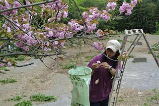 桜摘みスタート!