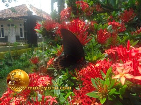 FOTO : Kupu – kupu hinggap pada bunga asoka di taman halaman rumah saya