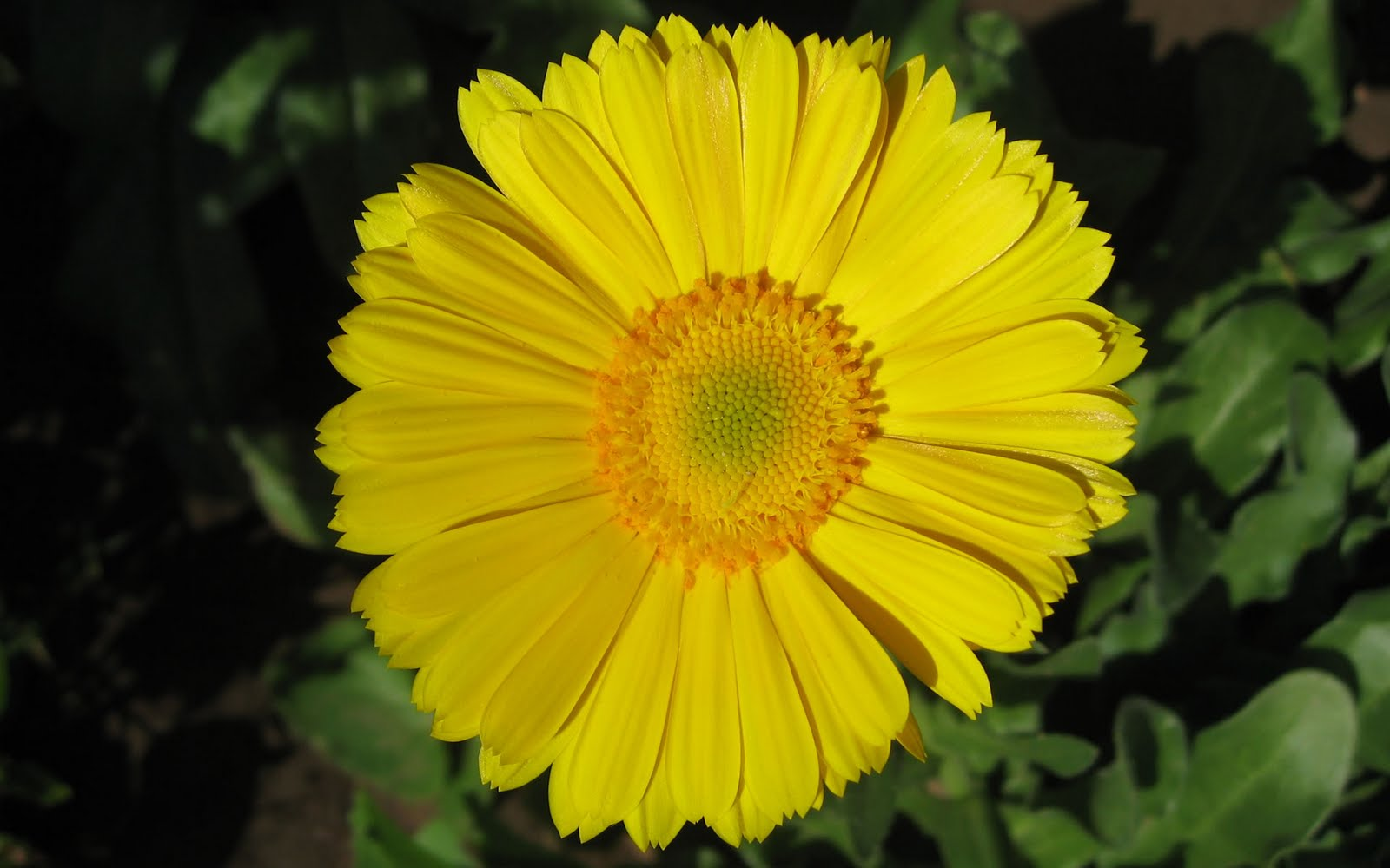 http://4.bp.blogspot.com/-mTAVS6D85FU/TfAGZKIv19I/AAAAAAAAENU/gIS6zQZ1SDk/s1600/gerbera-flower-wallpaper-wide-full-hd%2B127.jpg