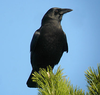 Crow, Crows, Black, Tree, Treetop