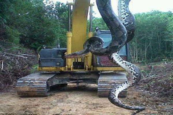 Zulia Prensa: Punta de Lanza Bolívar desmienten la noticia de la serpiente Boa que encontraron ...