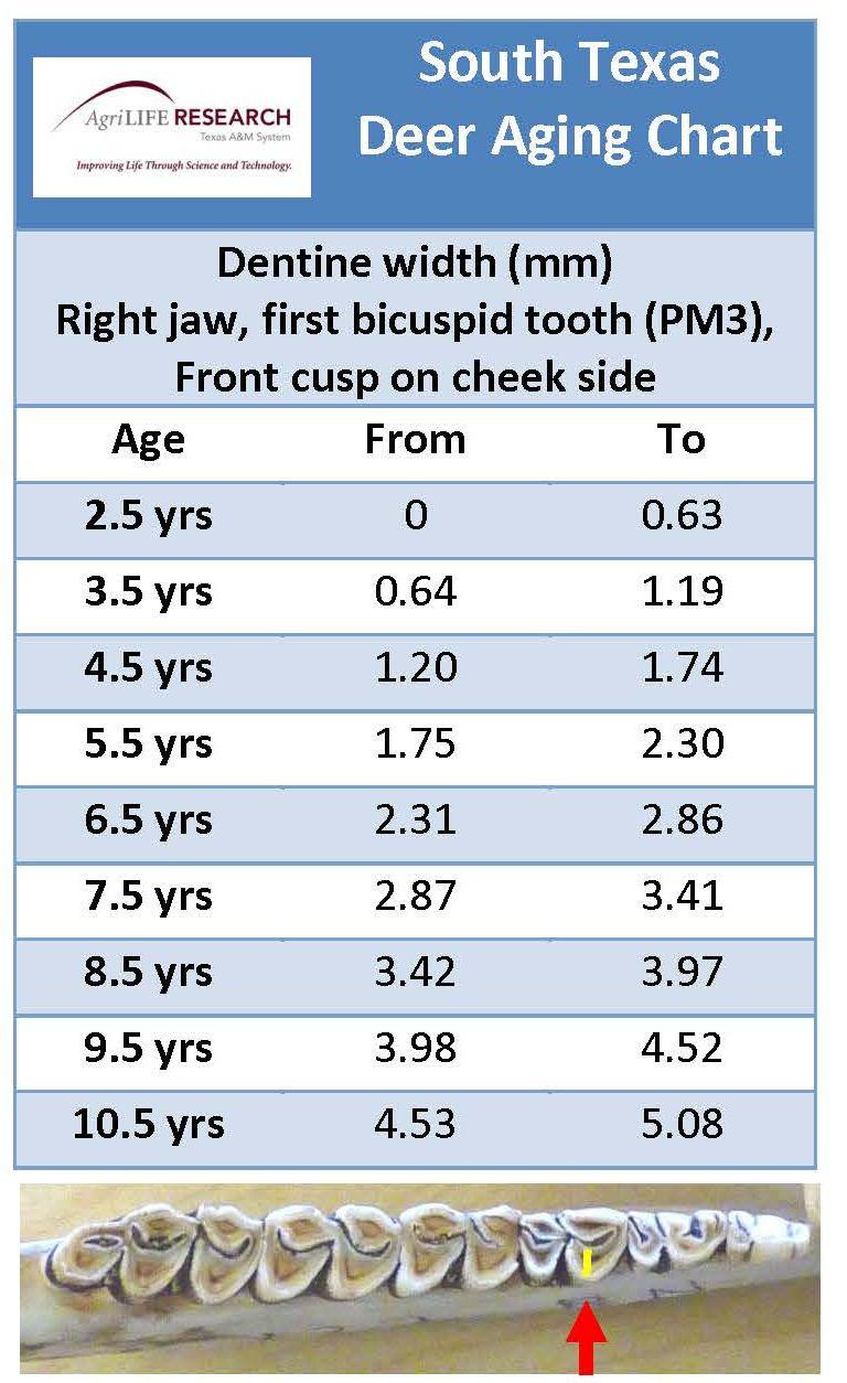 Briefs tooth dentine key to texas deer age determination