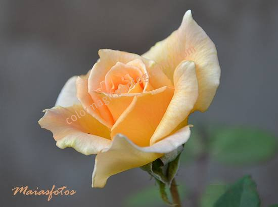 Pale orange rose isolated on a gray background