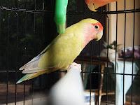 Lovebird Pastel Kuning Non  Klep
