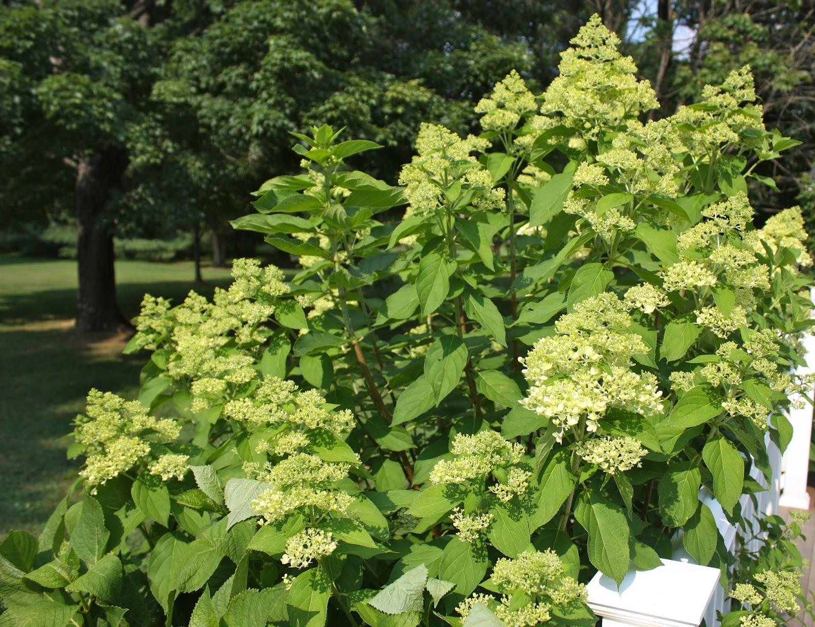Lee 39 s hideaway limelight hydrangeas for Limelight hydrangea