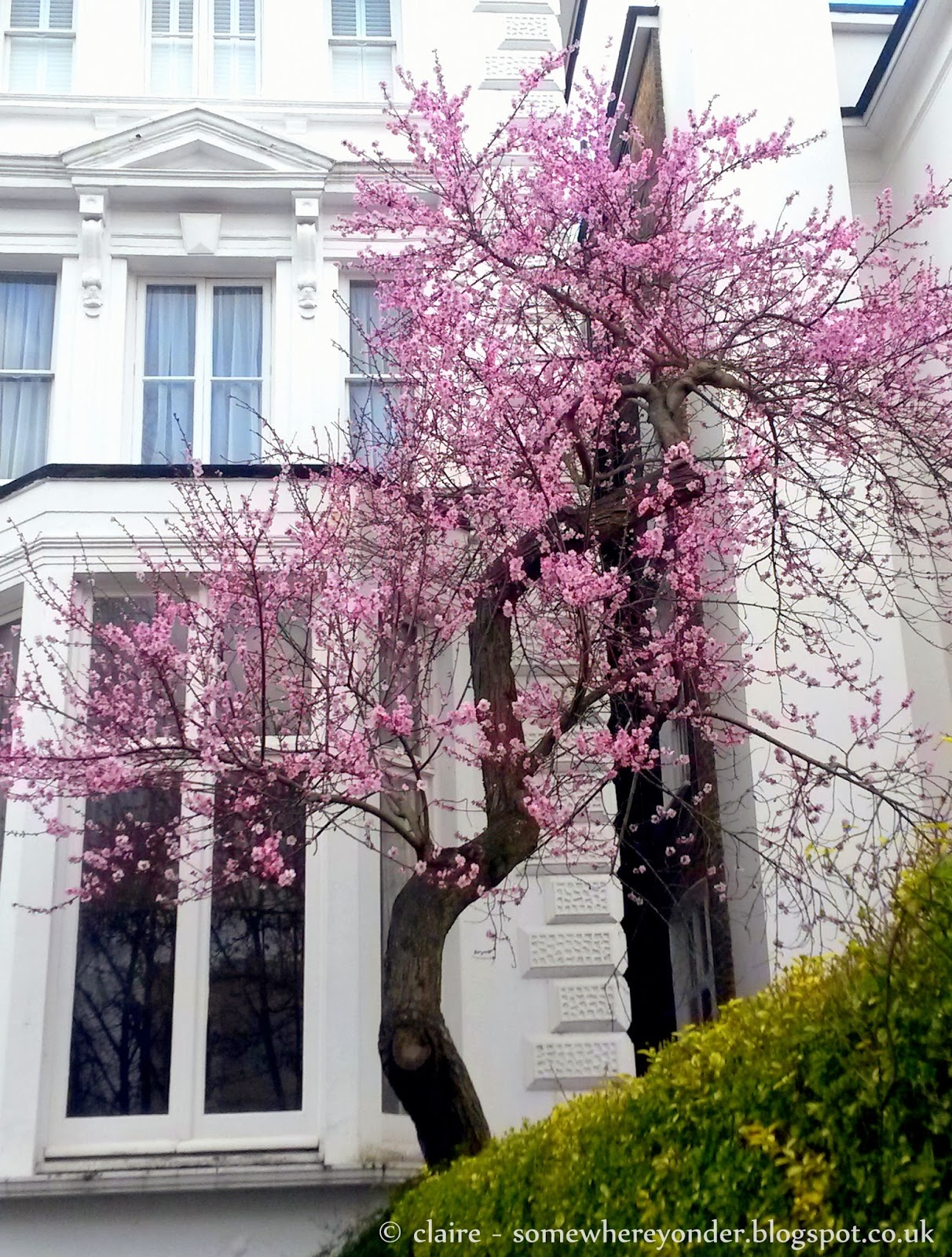Cherry Blossom Tree in London - Spring is coming