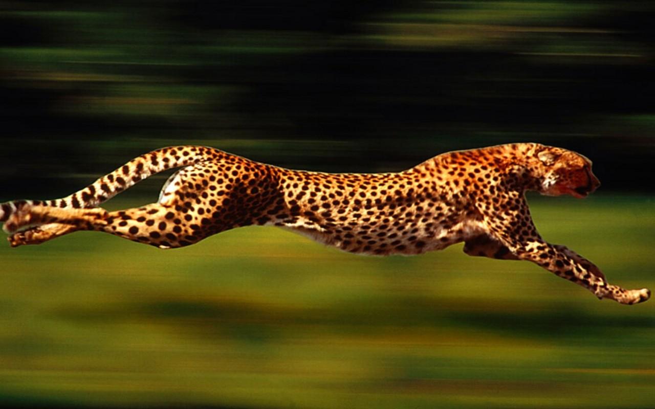 La Bellezza degli Animali - Pagina 3 Leopardo-corre-1280x800