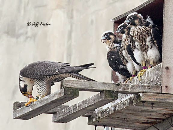 Peregrine Falcons and Chicks at Nesting Box