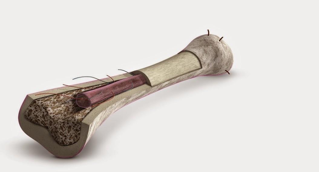 Anatomía y Fisiología 2.0: El tejido óseo
