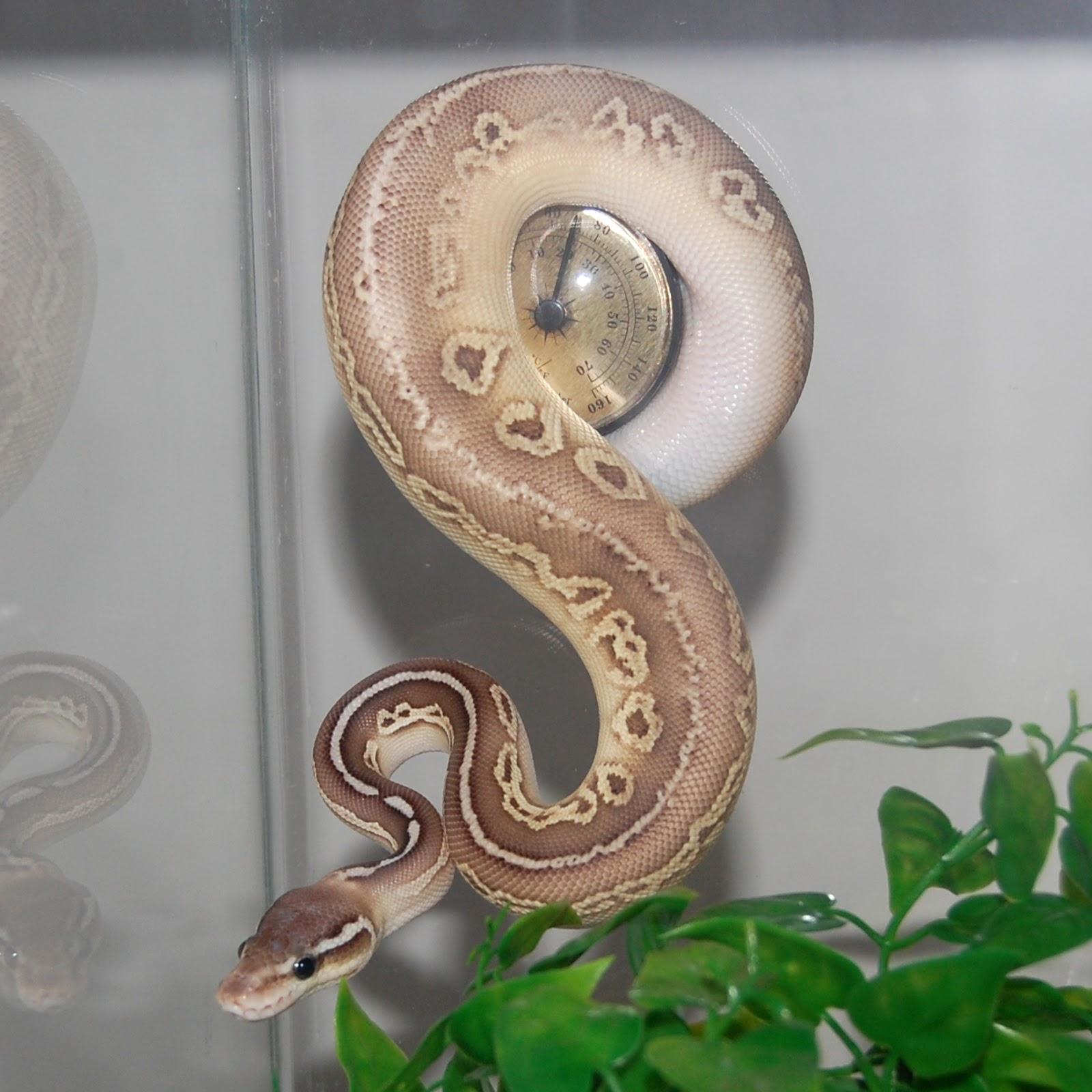 art life newsblog cute new member of the family python regius
