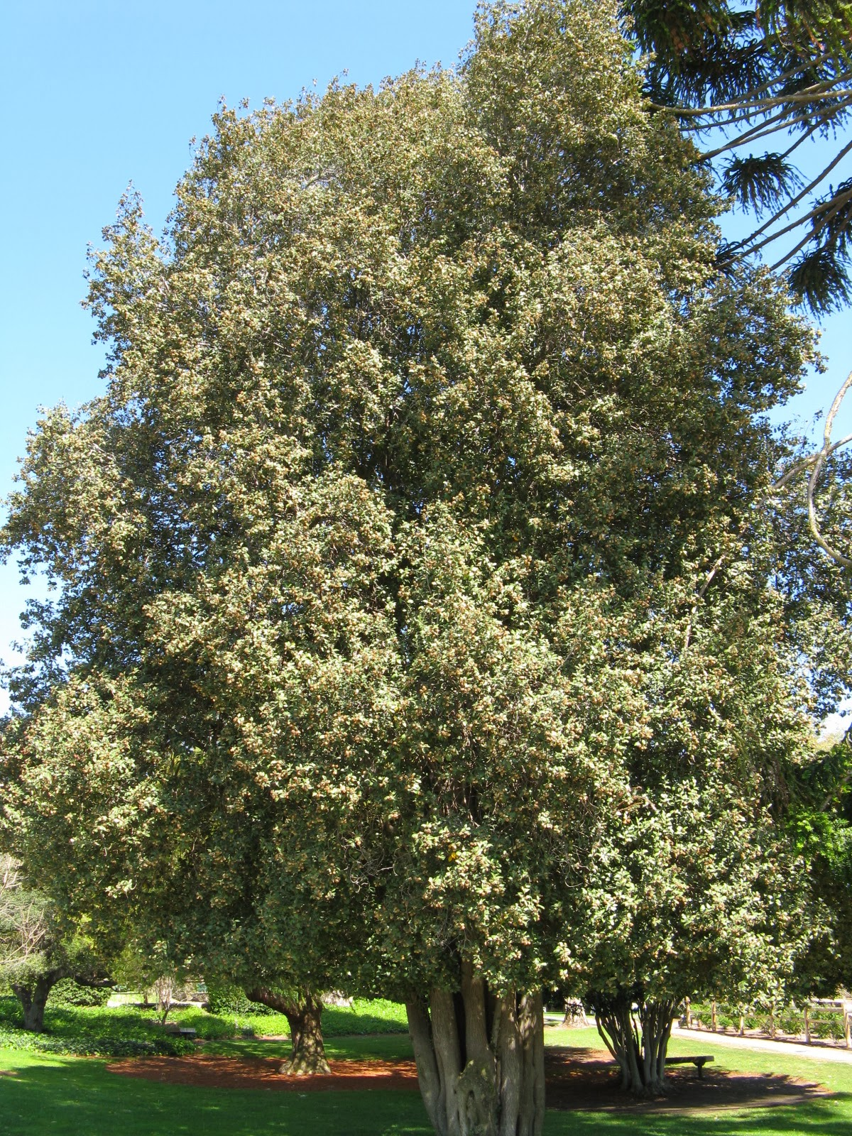 Trees of Santa Cruz County: Lagunaria patersonii - Cow ...