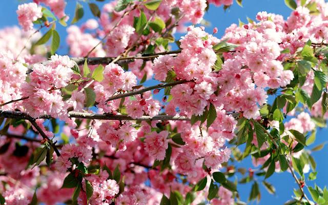 ảnh đẹp hoa đào phai