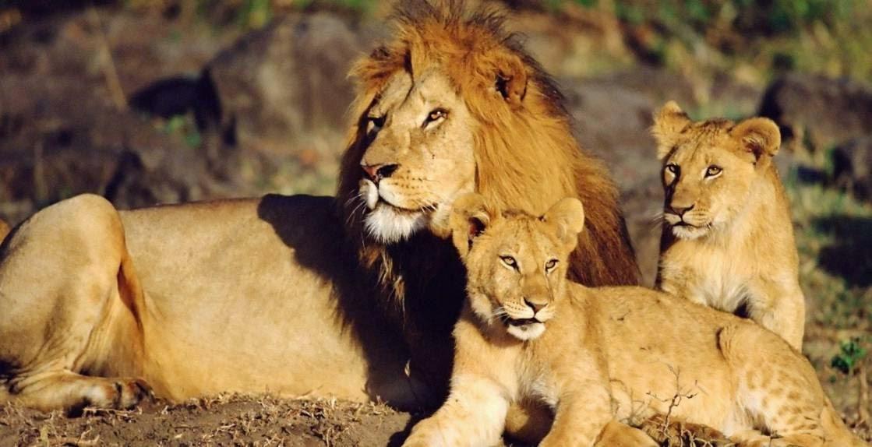 Los leones y la ley del mas fuerte