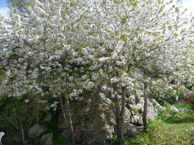 kirsebærtre blomstring