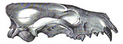 Mesocyon skull