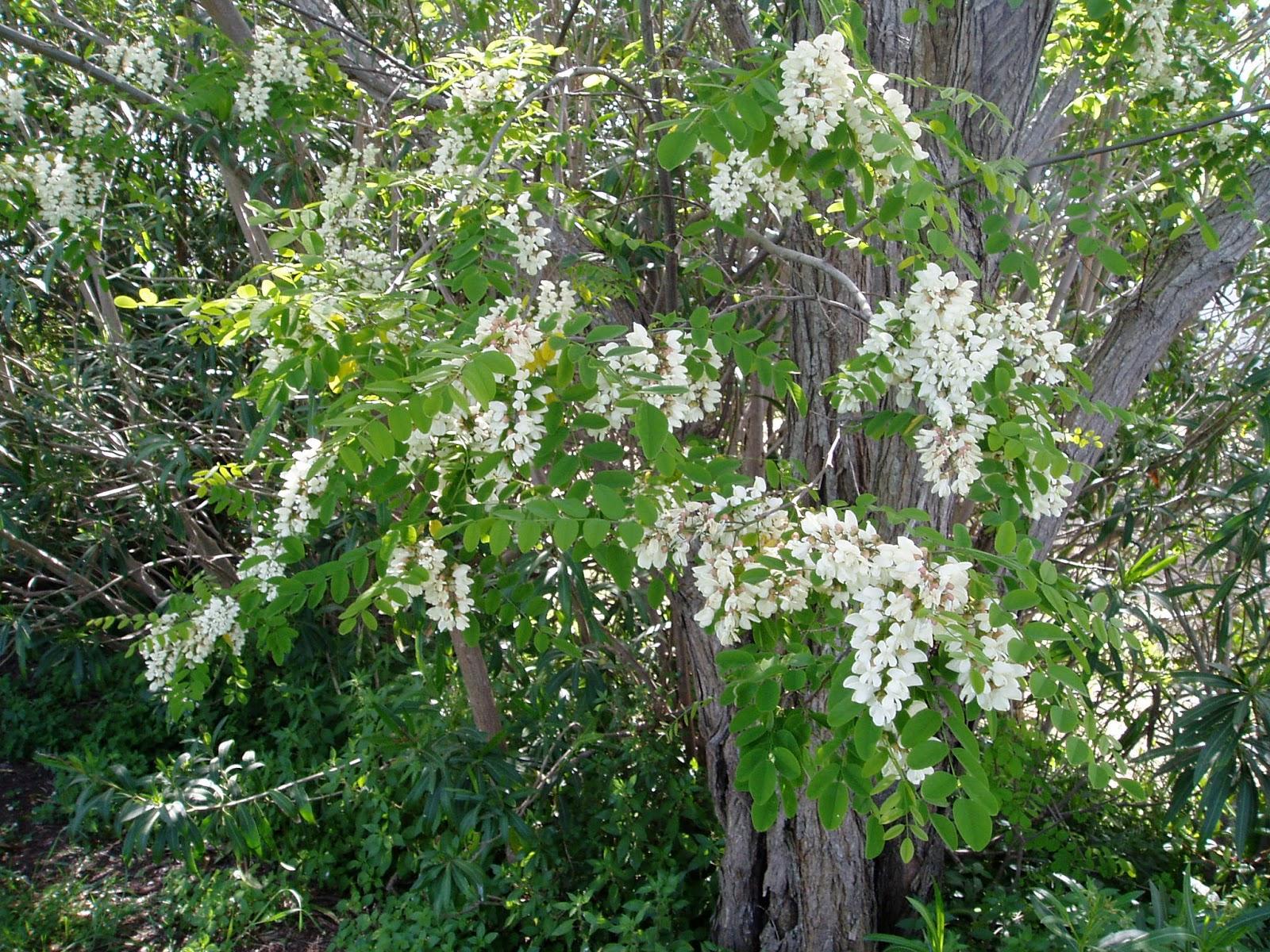 Arbusti e piante acacia for Acacia albero