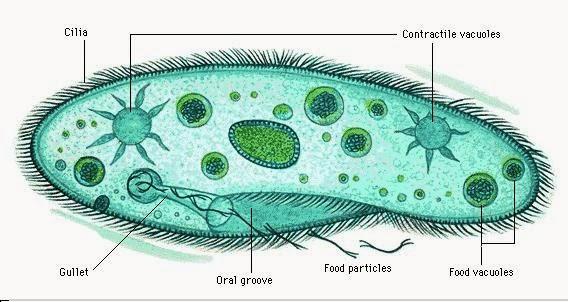 Laporan praktikum biologi protozoa forester untad