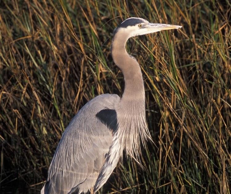 Wild Maryland 101 Birds Every Marylander Should Know Great Blue