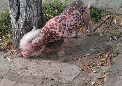Inikah Anjing Hasil Eksperimen Genetik
