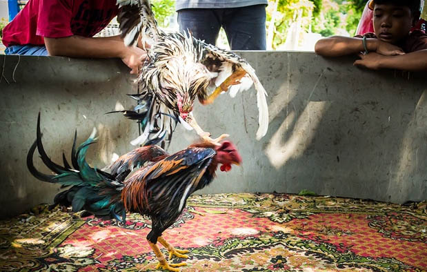Jenis Pukulan Ayam Bangkok Aduan