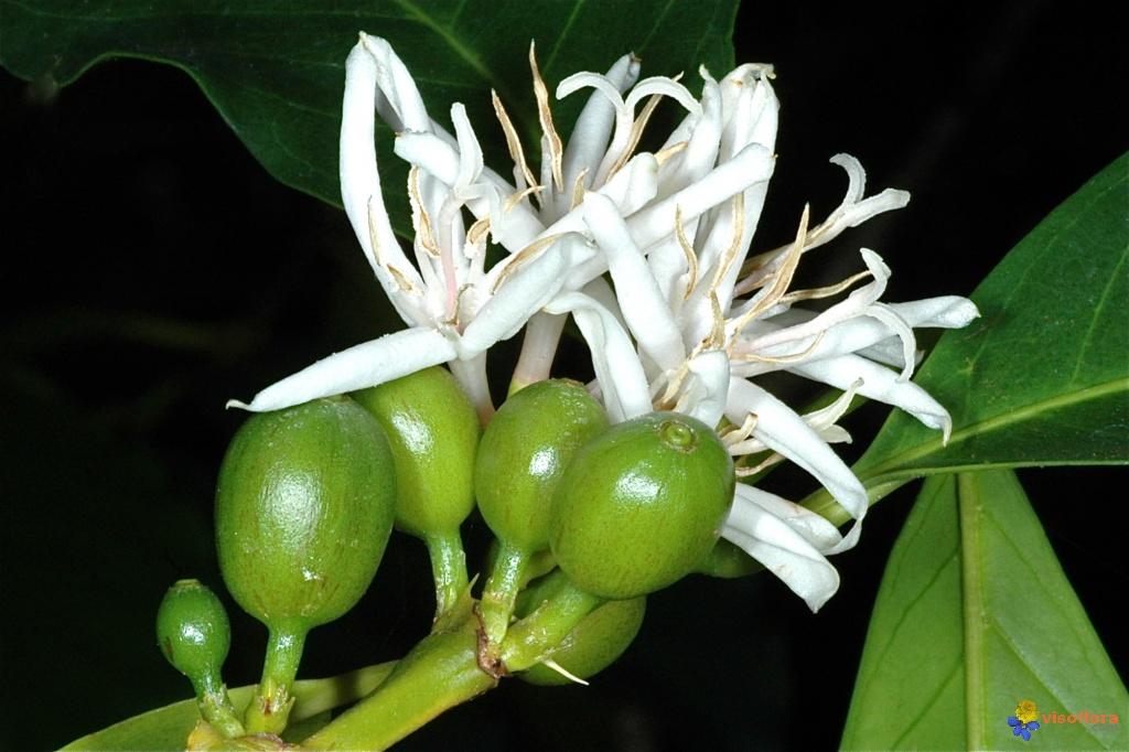 Coffea arabica oh 76 fall winter plant id for Coffea arabica