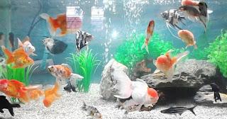 cara budidaya ikan, merawat ikan mas koki di akuariummas koki di akuarium,koki di kolam terpal,mas koki oranda,jenis,harga,telur,cara pemijahan ikan mas koki,termahal, terbagus ,tercantik,