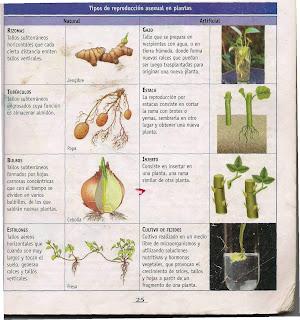 Tipos de reproduccion asexual en plantas natural y artificial