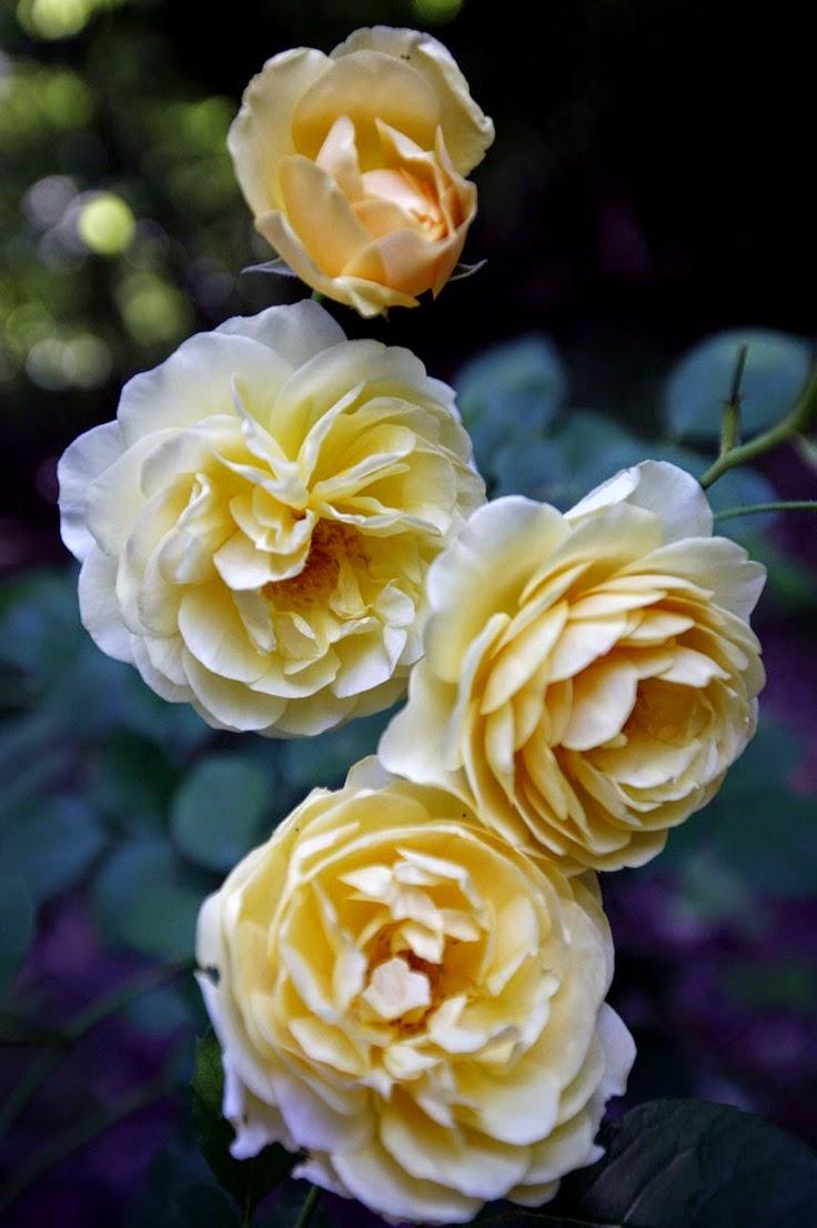 39 graham thomas 39 climbing rose garden photo of the day. Black Bedroom Furniture Sets. Home Design Ideas